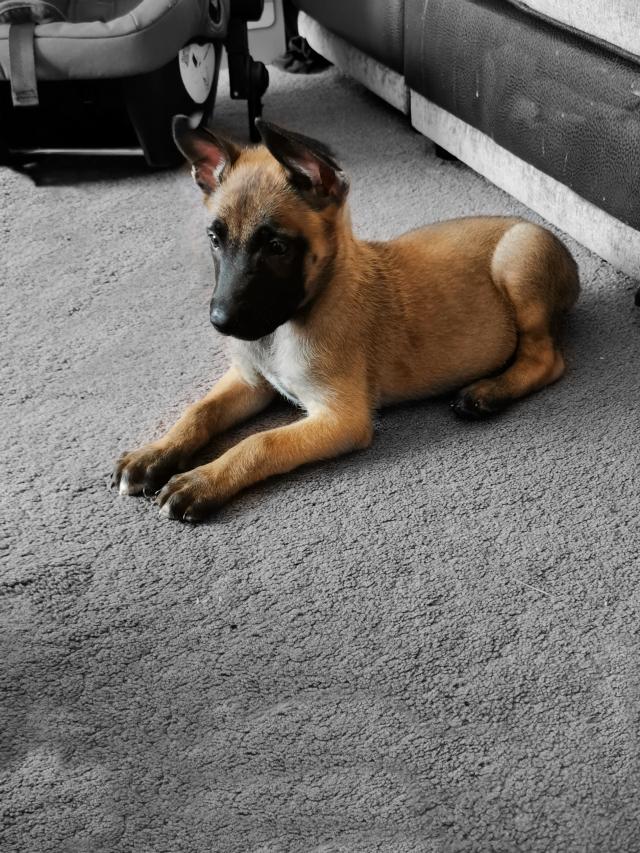 #belgianmalinois #8weeksold #jax #puppy #malinois