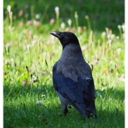 bird crow nebelkrähe krähe nature freetoedit