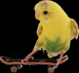 freetoedit parrot skateboard birds scskateboards