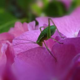 tiny grasshopper macro tiltshift myphoto freetoedit