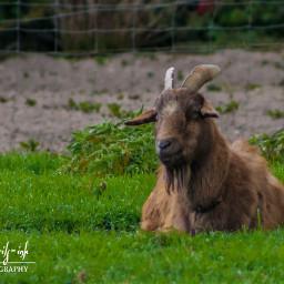 freetoedit ramgoat tragus goat brown