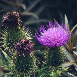 wildflower thistle nature dodgereffect myphoto freetoedit