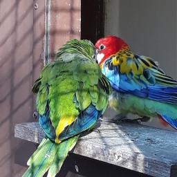 freetoedit birds colourful blue red pcshadesofblue