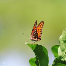 freetoedit minimal butterfly butterflylove vividcolor