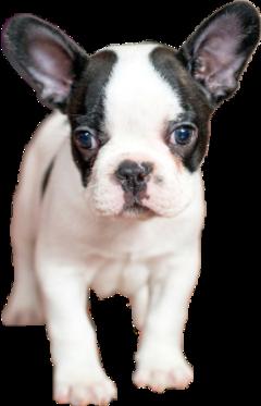 sticker dog french bulldog frenchbulldog freetoedit