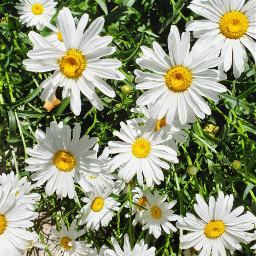 freetoedit flowers summer