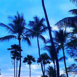 freetoedit tropical palmtrees paradise myoriginalphoto pcshadesofblue