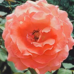 freetoedit love rose mygarden photography