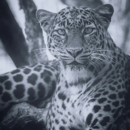 freetoedit cat bigcat leopard panther