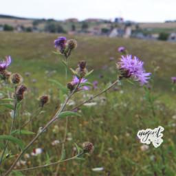 freetoedit wildflowers august