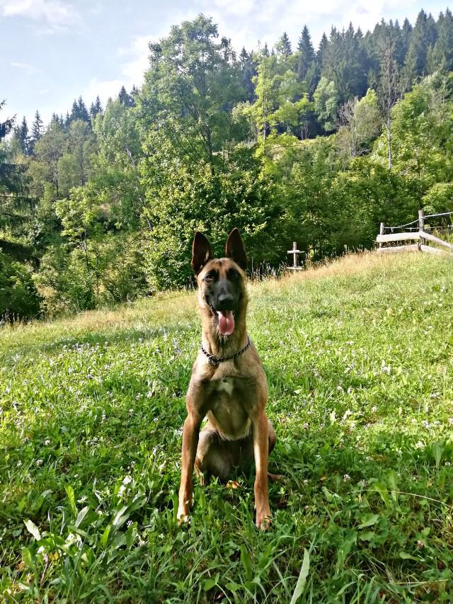 #belgianshephard #belgianmalinois #malinois #dog #workingdog #nature  #freetoedit