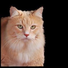 freetoedit kittylove kitty cat orangecat