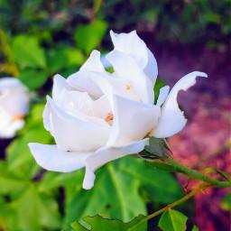 freetoedit nature photography flowers inmyneighborhood