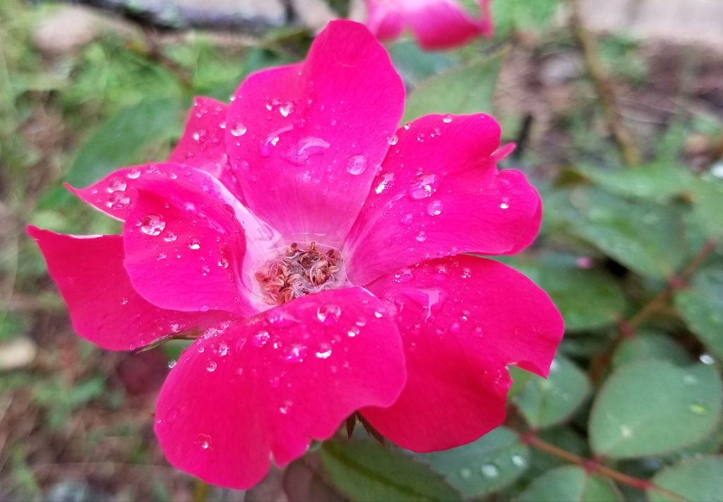 #photography #nature #interesting #color #pink #colorful #flower #rose #wildrose #rosa #flor #naturephotography #plant #outdoors #water #rain #droplets #drops #noremix #notfreetoedit