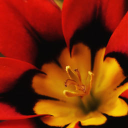 freetoedit harlequin_flower sparaxis_tricolor colorful contrast