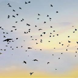 birds flying birdsinflight chaos evening freetoedit