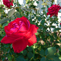 roses nature flower photography colorful