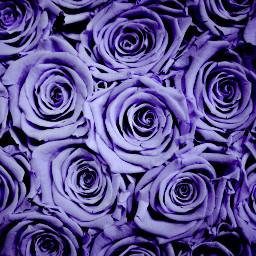 freetoedit purple roses petals flower