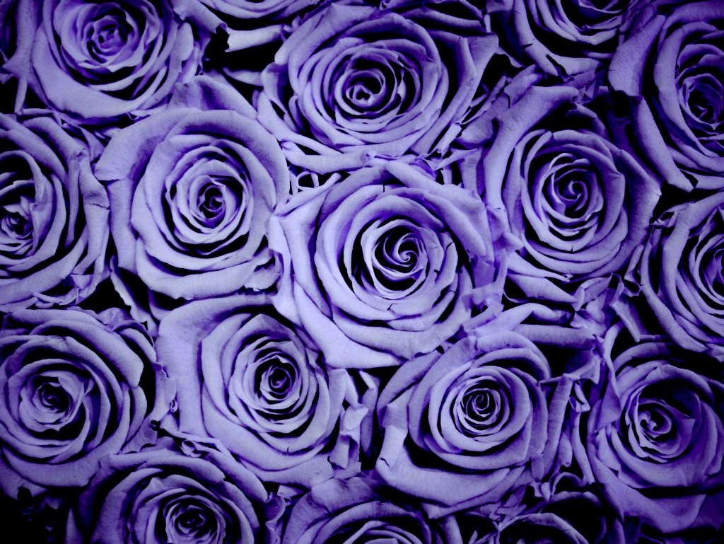 #freetoedit #purple #roses #petals #flower #beautiful #backgrounds #picsarteffects #made #colors