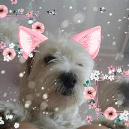 freetoedit pink dogremix dog maltesepuppy