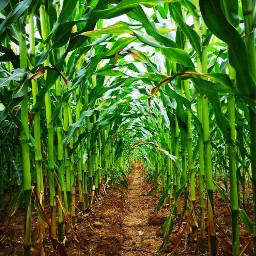 freetoedit corn field nature green