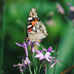 freetoedit paintedladybutterfly colorful photography flowers