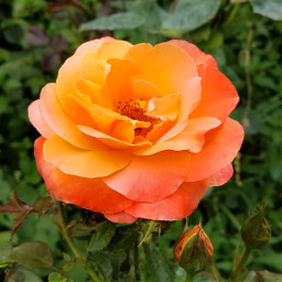 freetoedit orange rose flower garden