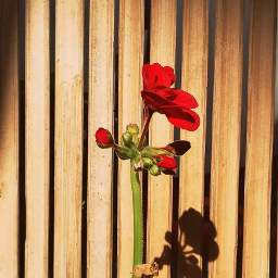freetoedit flower shadow warmcolor photooftheday