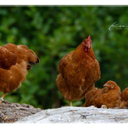 chicken birds nature freetoedit