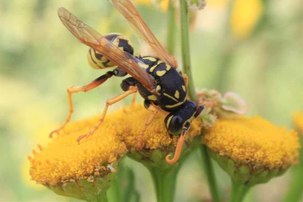 #photography #summer #nature #macro #flower #blossom #colors #yellow #insect #wesp #black #yellow