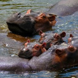 freetoedit hippo