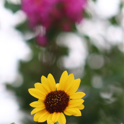 freetoedit canonphotography sunflower onmystreet bokehbackground