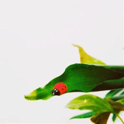 freetoedit ladybug leaves myphoto photography