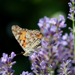 freetoedit myphotography nature flowers lavender