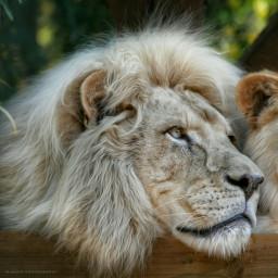 petsandanimals lion