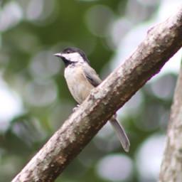 freetoedit bokehbackground chickadee trees birds
