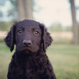 photography nature pets dog curlycoatedretriever