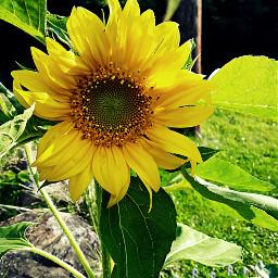 august sunflower flower flowerphotography sunflowerphotography