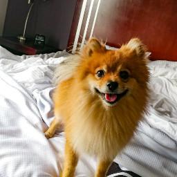 hotel dogsofpicsart dog bed happydog freetoedit
