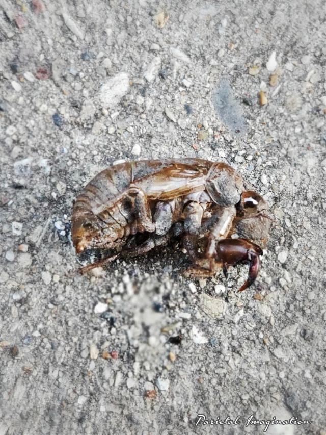 Photography by: Parietal Imagination Art  @pa #cicada #husk #bug #shell #adjust #vip #myphoto #myphotography #parietalimagination  💗💗💗💗💗