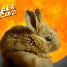 freetoedit rabbit coelho