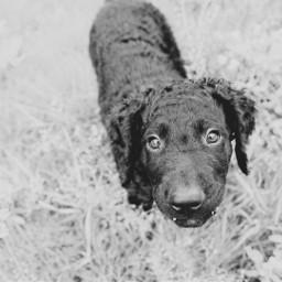 photography curlycoatedretriever dog pets