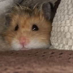 nature petsandanimals hamster love petsofpicsart pcpetsofpicsart
