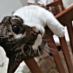 freetoedit pcpetsofpicsart petsofpicsart cat cats