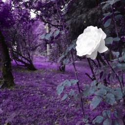 freetoedit septembermorning rose