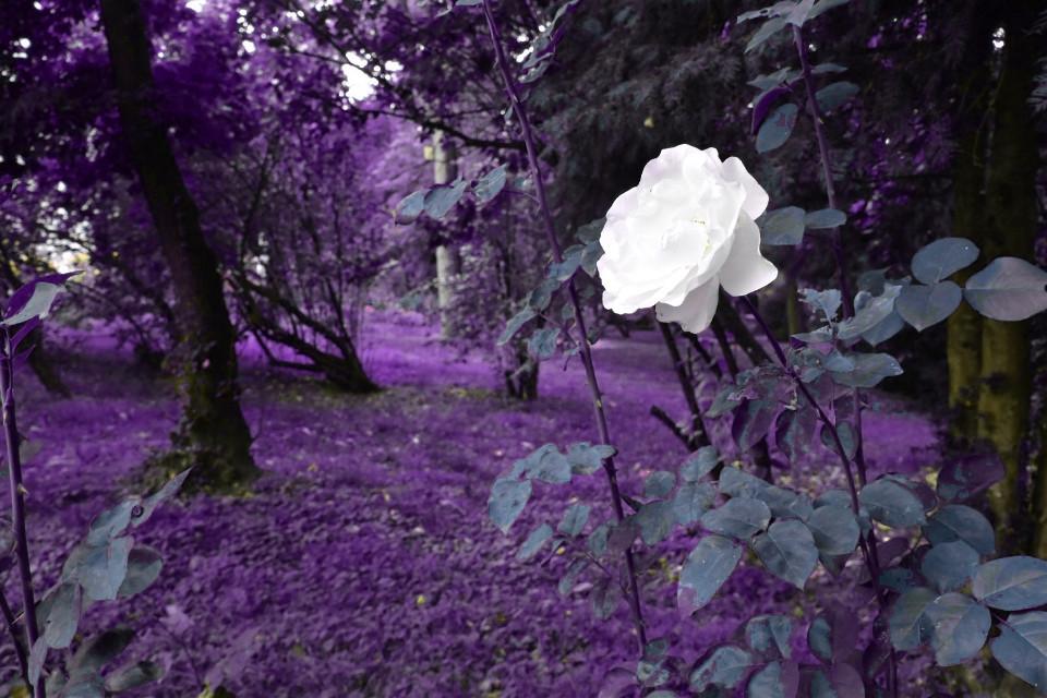 #freetoedit #septembermorning #rose