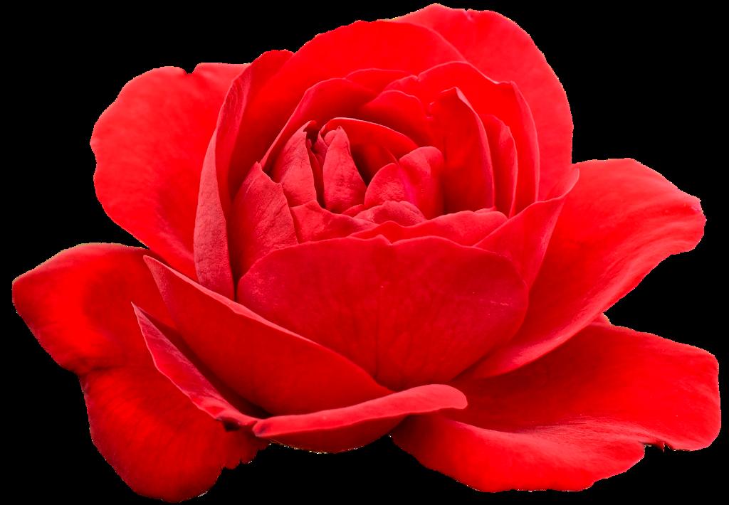 #cuorelucymy #Lucymy #mialu #flowers #rosa