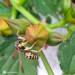 freetoedit huaweiy62018 vespa insect bees