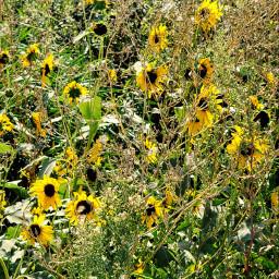 yellow flowers plants nature fall freetoedit