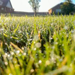sweethomealabama grass dogslovegrass dew morningdew freetoedit